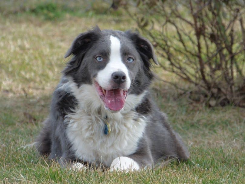 Border Collie and Australian Shepherd mix (Border Aussie)