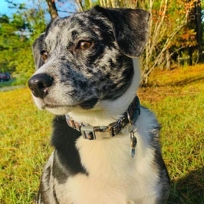 Beagle and Border Collie mix (Border Beagle)