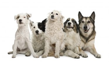 Border collie with mixes and other purebred dogs in a white background