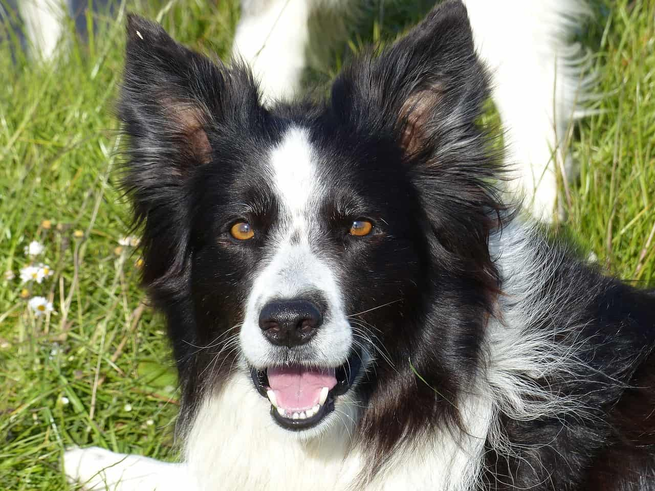 A close-up photo of a black and white Border Collie