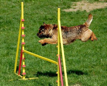 A Border Jack/Border Terrier doing an agility course