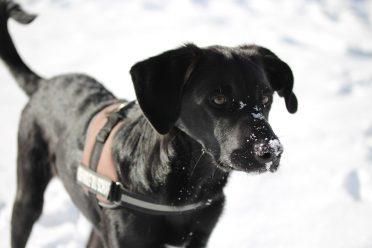 A black Borador with snow on its muzzle