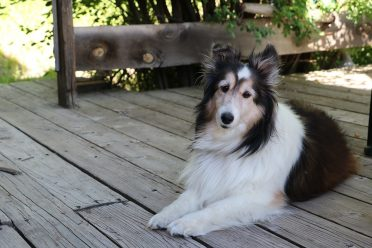 A photo of a tri-colored Border Sheltie mix on a deck or porch