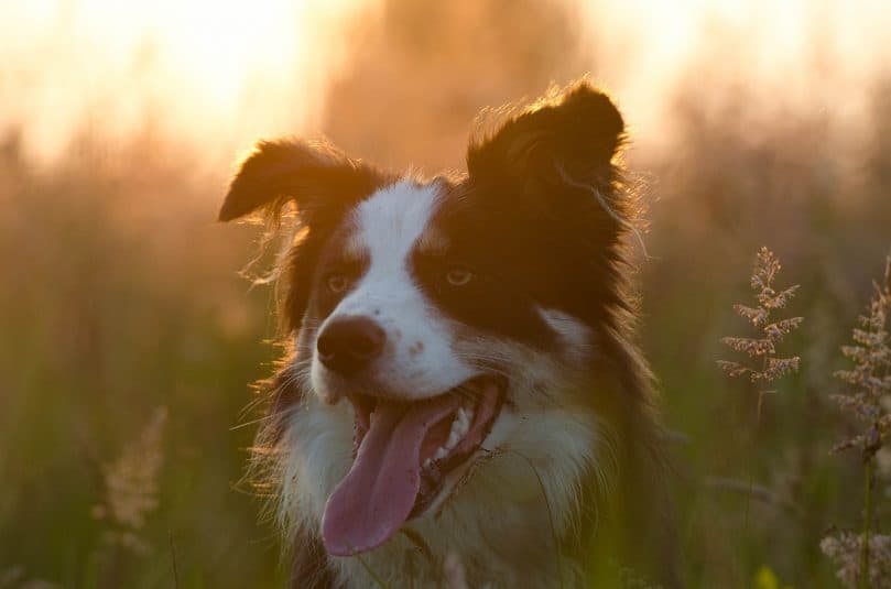 A head shot of a Border Collie with its tongue out, in a field during sunrise/sunset