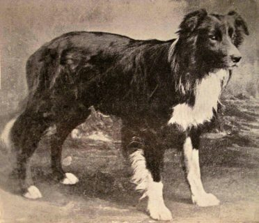 An old black and white photo of a Border Collie