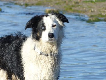 An adult black and white Border Collie with eyes that has a different color