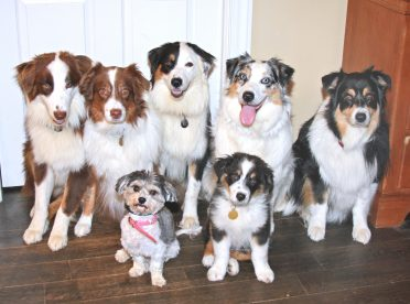 A group photo of Border Collies that differ in color, size, and age