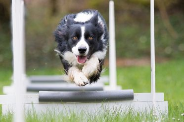 A photo of a Border Collie competing in flyball