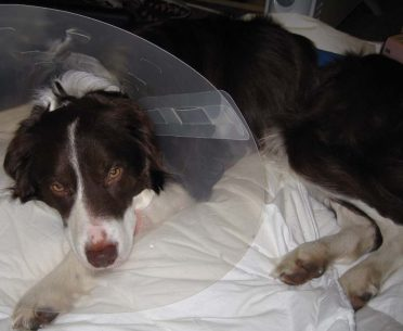 A sick Border Collie wearing a cone while resting