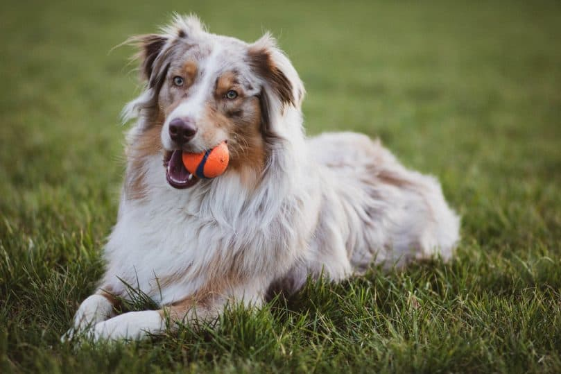 A photo of a Border Aussie laying on the grass with a ball in its mouth