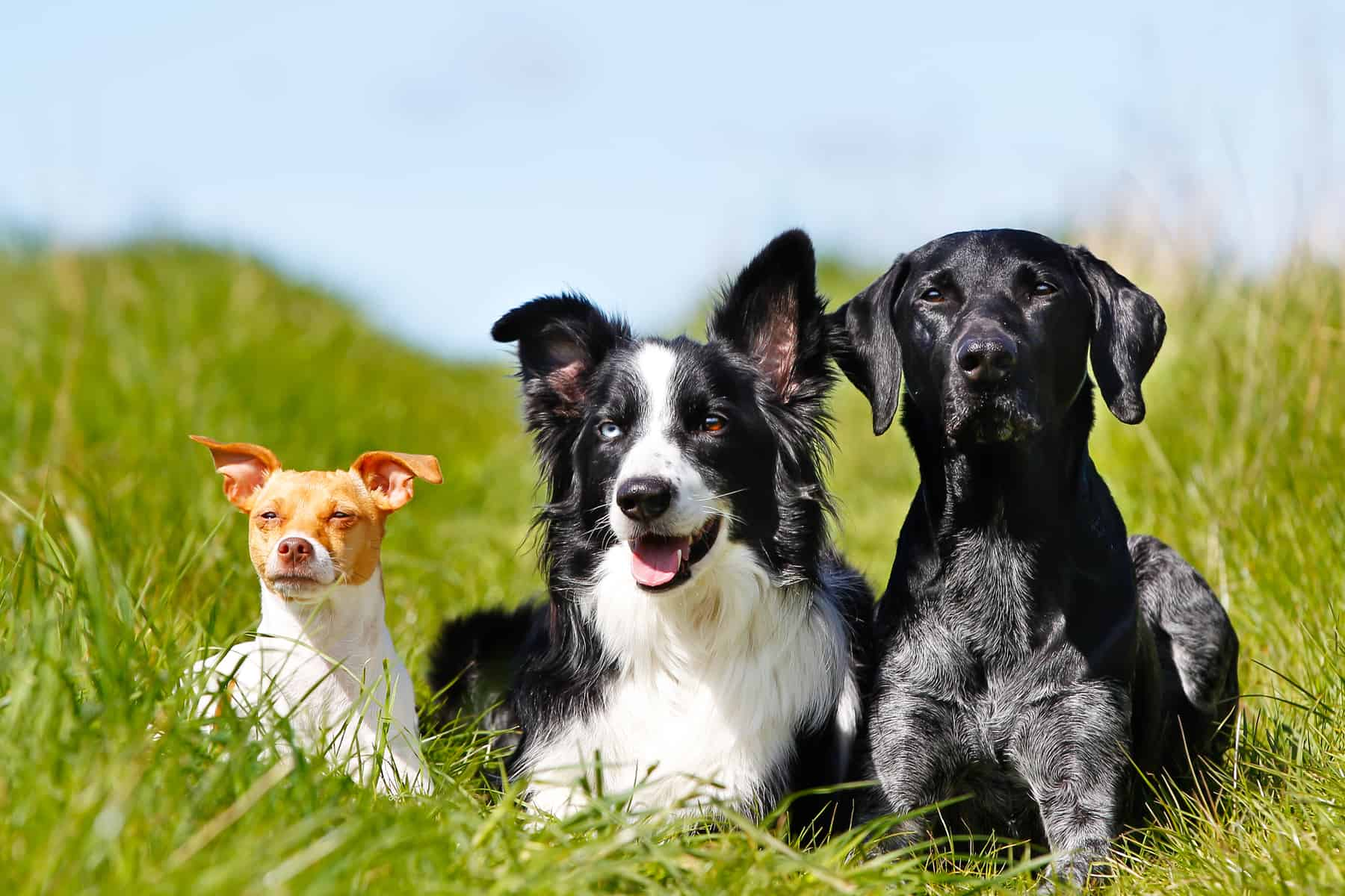A Border Collie and 2 other dogs, outdoors on a sunny summer day.