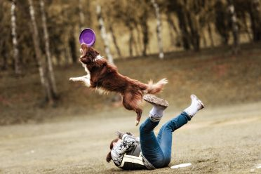 Red and white Border Collie catching a frisbee while jumping over its owner
