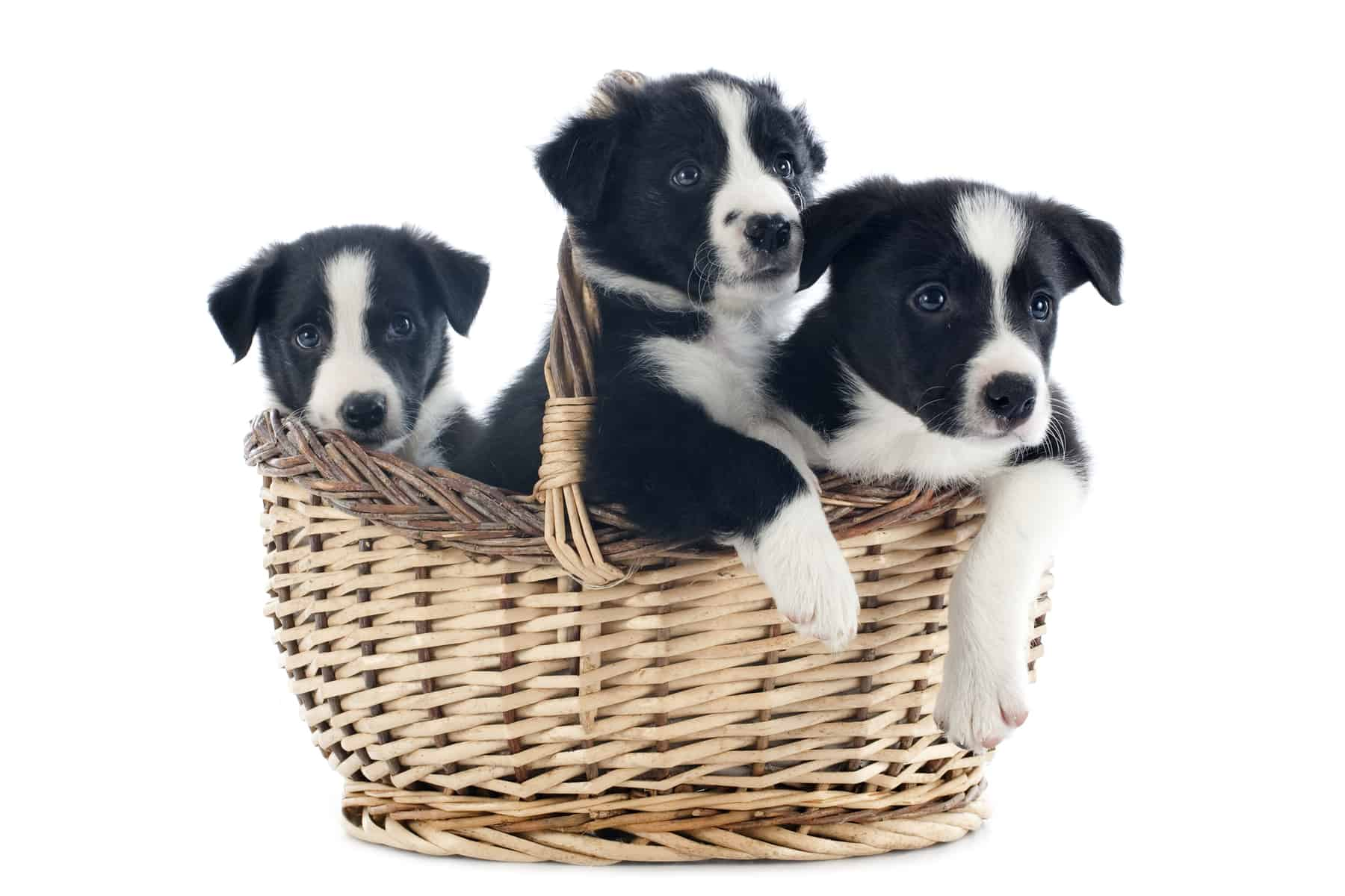 Border Collie puppies in a basket