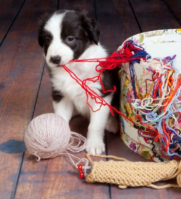 Little Border Collie pup making a mess of balls of wool