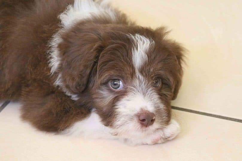 Border Collie and Poodle mix (Borderdoodle/Bordoodle)