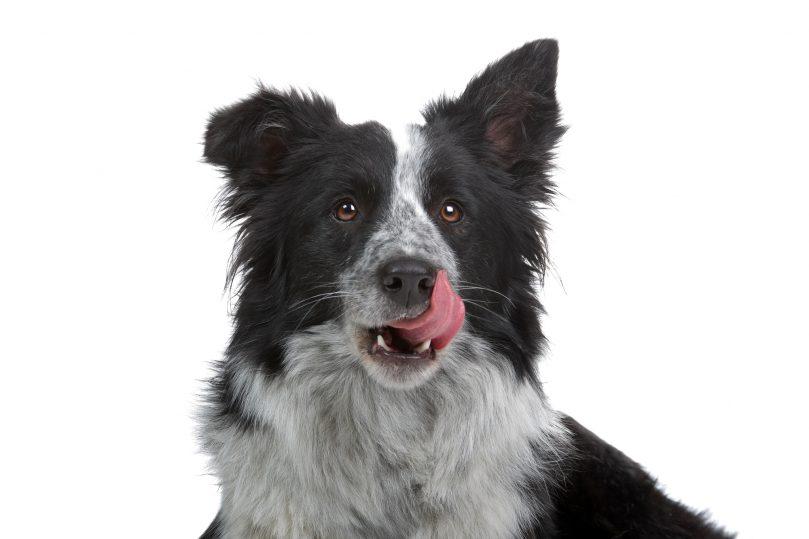 Border Collie and German Shepherd mix (Shollie)