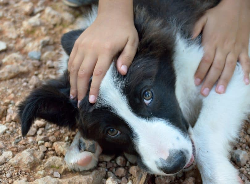 close-up photo of a person's hand petting a black and white Border Collie puppy