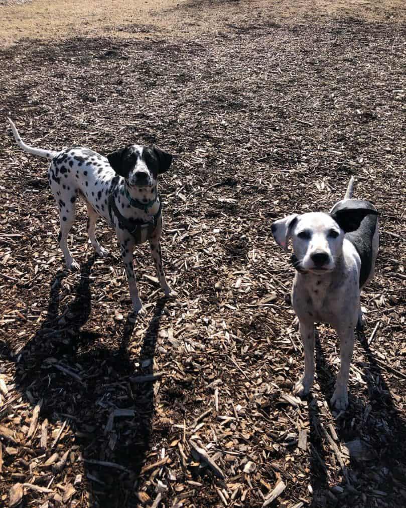Dalmatian and Border Collie mixes