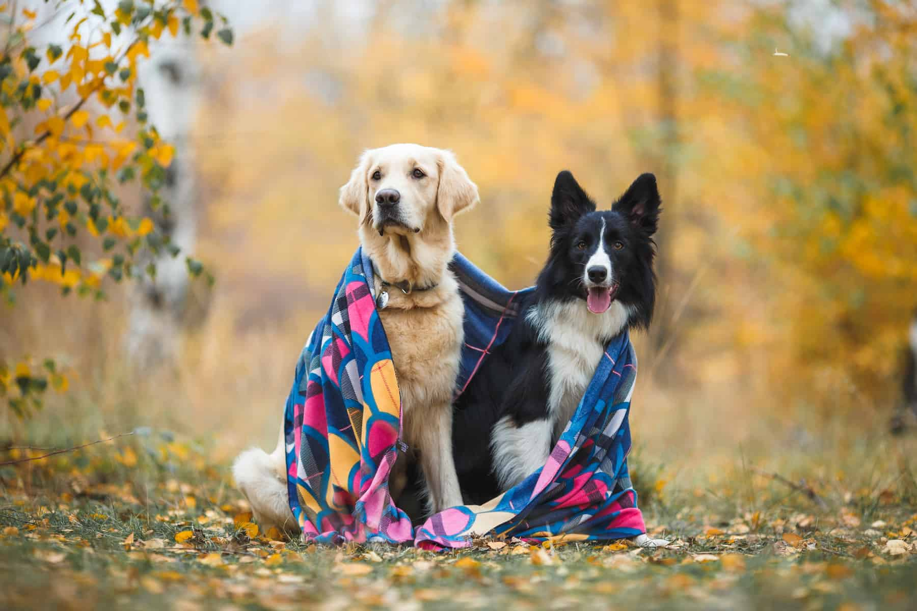 A Golden Retriever and a Border Collie wrapped in a blanket together