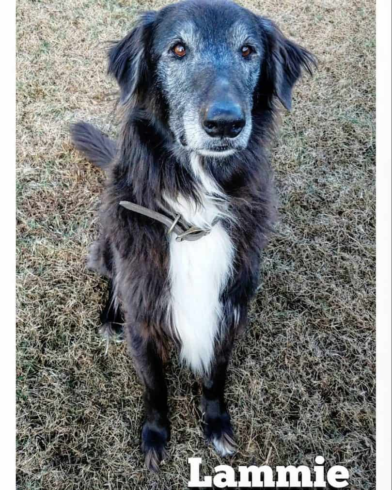 Afghan Hound and Border Collie mix (Afghan Collie)