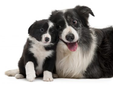 a small Border Collie puppy socializing with an adult Border Collie