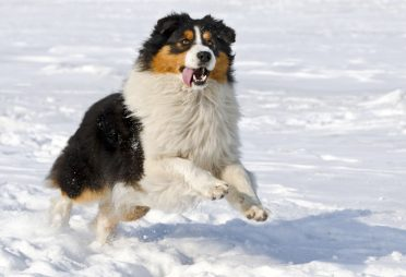 A tricolor Australian Shepherd playing in the snow