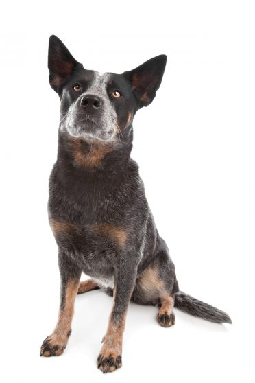 Australian Cattle Dog AKA Blue Heeler on a white background