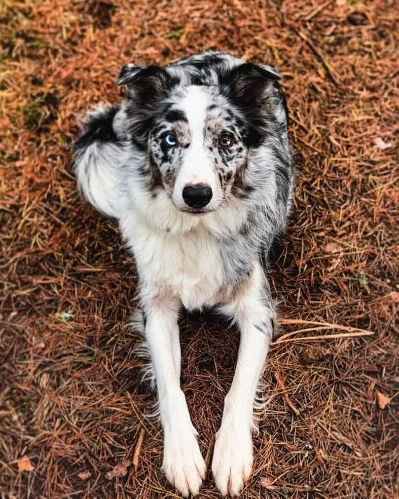 Facts You Need To Know About The Border Collie Colors And Markings Bordercolliehealth
