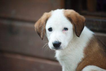 A close up photo of a brown and white Borador puppy