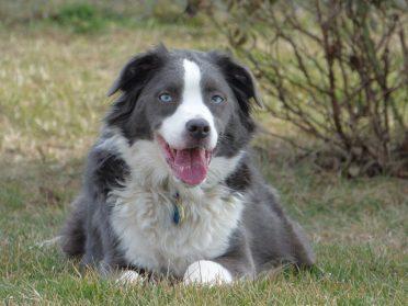 A black and white Border Collie-Australian Shepherd mix