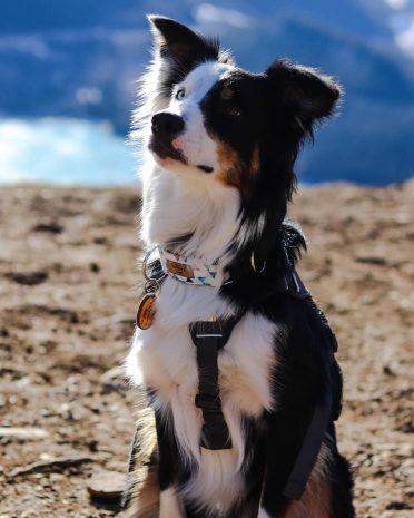 Border Aussie looking up while on a shore near a lake