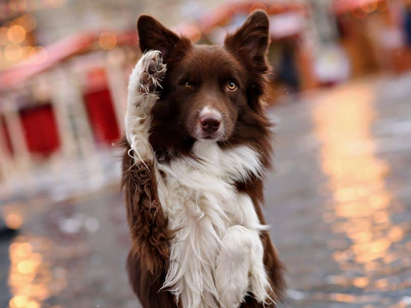 A brown and white Border Collie standing with one paw up