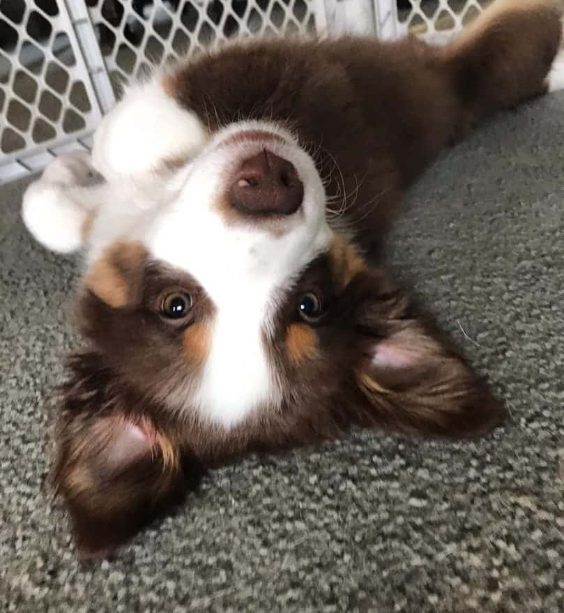 a funny and cute-looking Border Aussie puppy