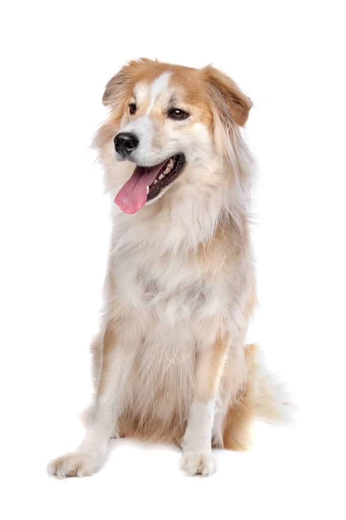 Border Collie Golden Retriever mix on a white background