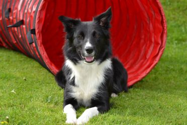 A black and white Border Collie sitting on the grass.