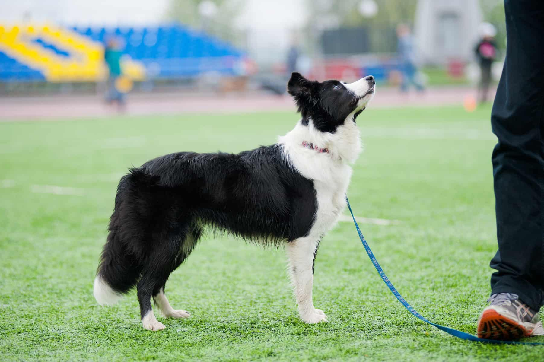 Border Collie dog standing beside its owner