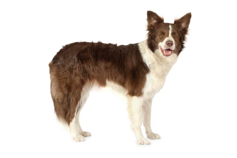 Border Collie with brown and white-colored coat on a white background
