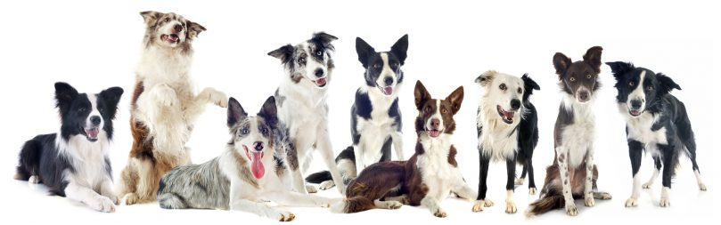 a portrait of Border Collies with different colors, markings, and patterns