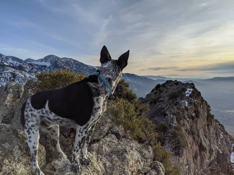 a Border Heeler looking at the view