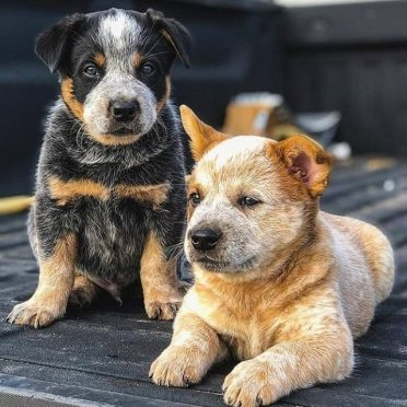 two Border Heeler puppies with different-colored coats