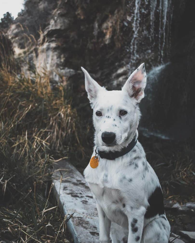 Border Heeler with collar spending time outdoors