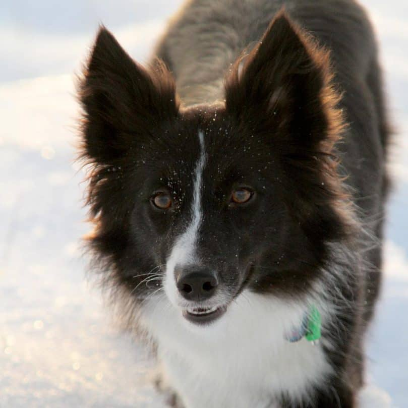 Shetland Sheepdog and Border Collie mix (Border Sheltie)