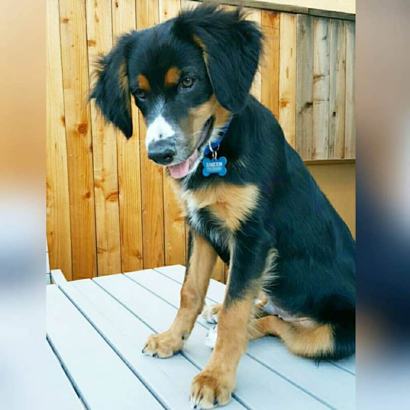 Brittany and Border Collie mix (Border Collie Brit)