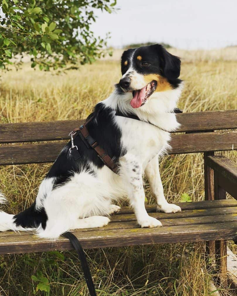 English Setter and Border Collie mix (English Borsetter Collie)