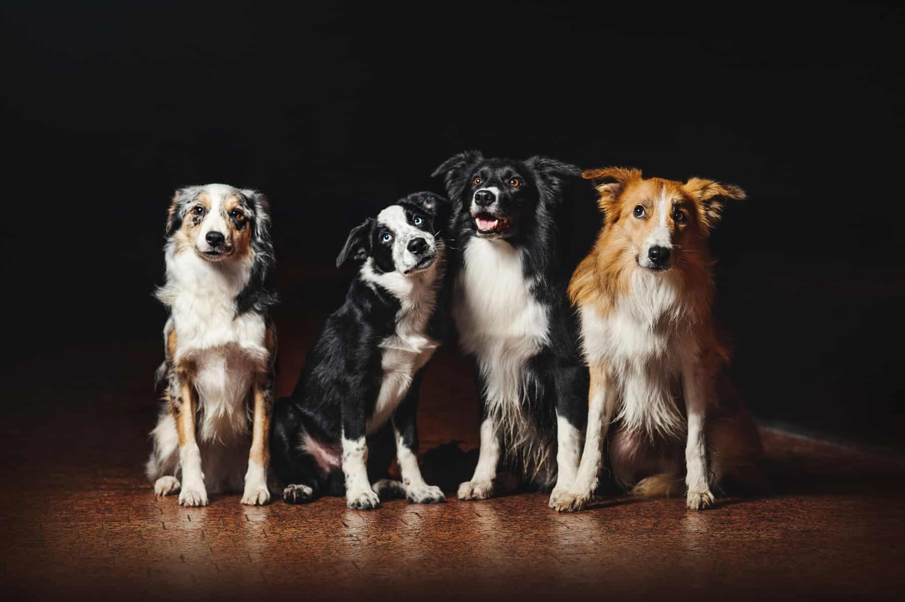 4 Border Collie adults