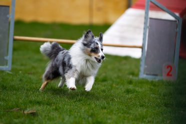 Full-grown tricolor merle Border Collie in an agility competition