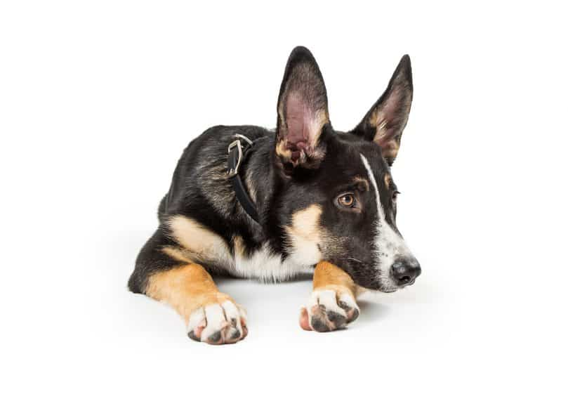 Cute German Shepherd Border Collie mix dog lying down resting head and looking off to side