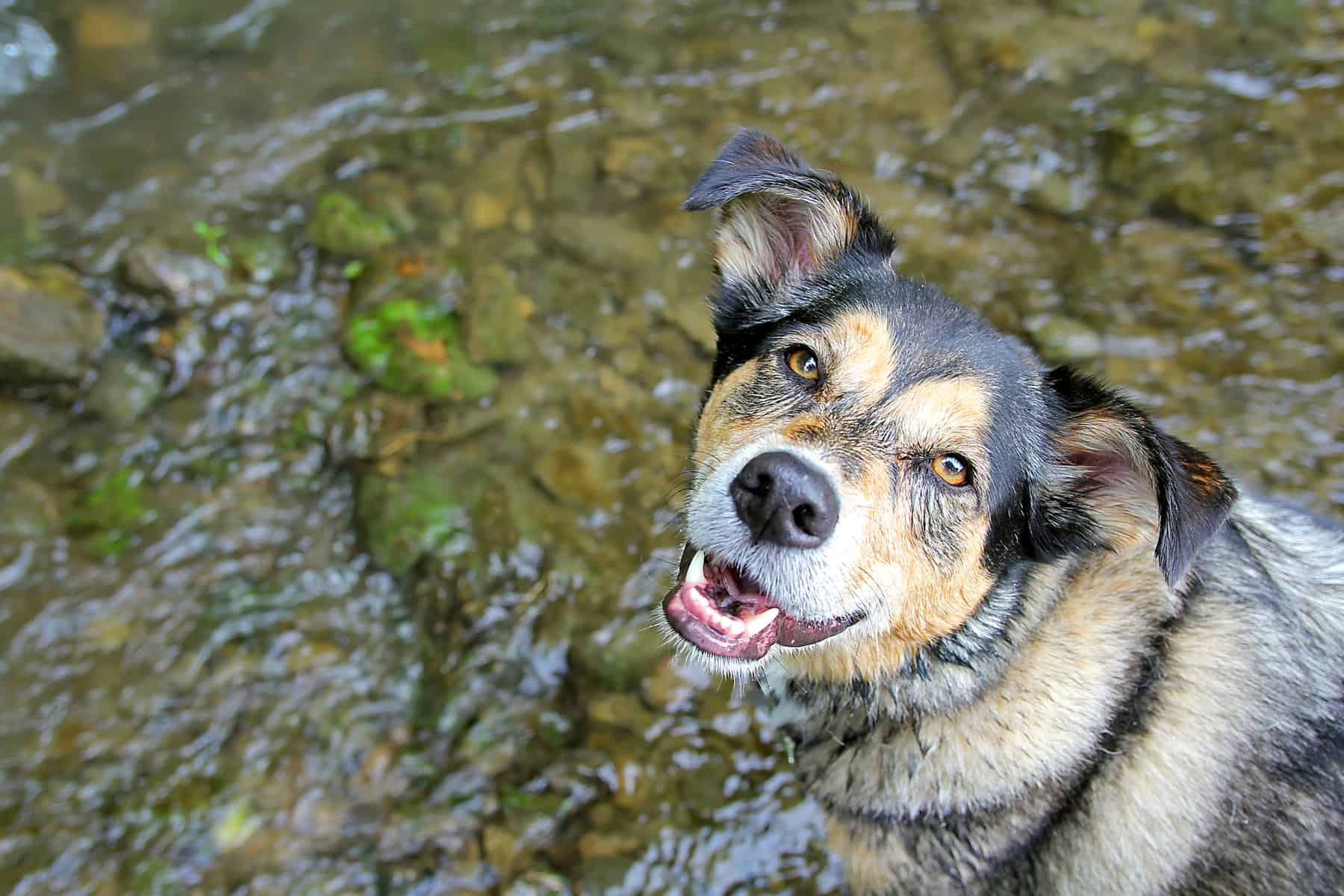 A happy German Shepherd Border Collie mix dog is looking at the camera.