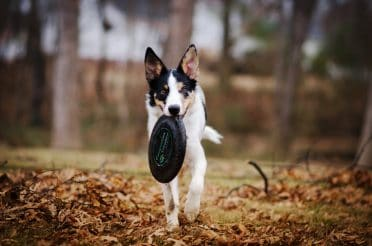 A tricolored German Shepherd Collie mix puppy carrying a frisbee