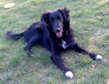 A Border Collie and Golden Retriever mix on the grass
